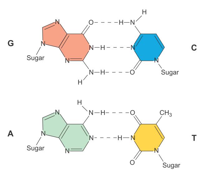 它们维持蛋白质的2~4结构