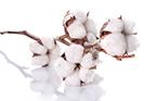 经济作物棉花的施肥特点