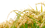 硅肥及硅肥在水稻中的运用