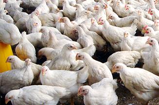 酵母细胞壁多糖与酵母硒联用对肉鸡免疫功能的影响
