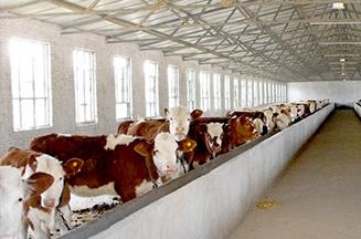 福邦反刍专用酵母对奶牛饲料消化及产奶量的影响