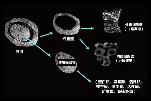 酵母细胞壁多糖对免疫功能的作用机制