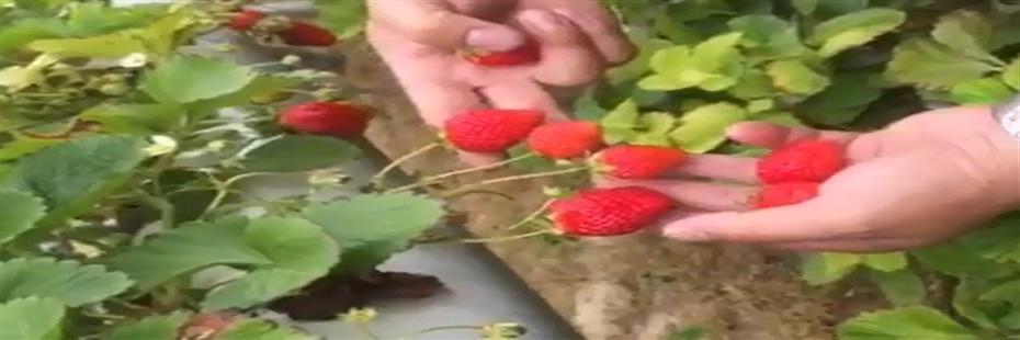 福邦酵母源新型肥料助力台湾草莓无土栽培