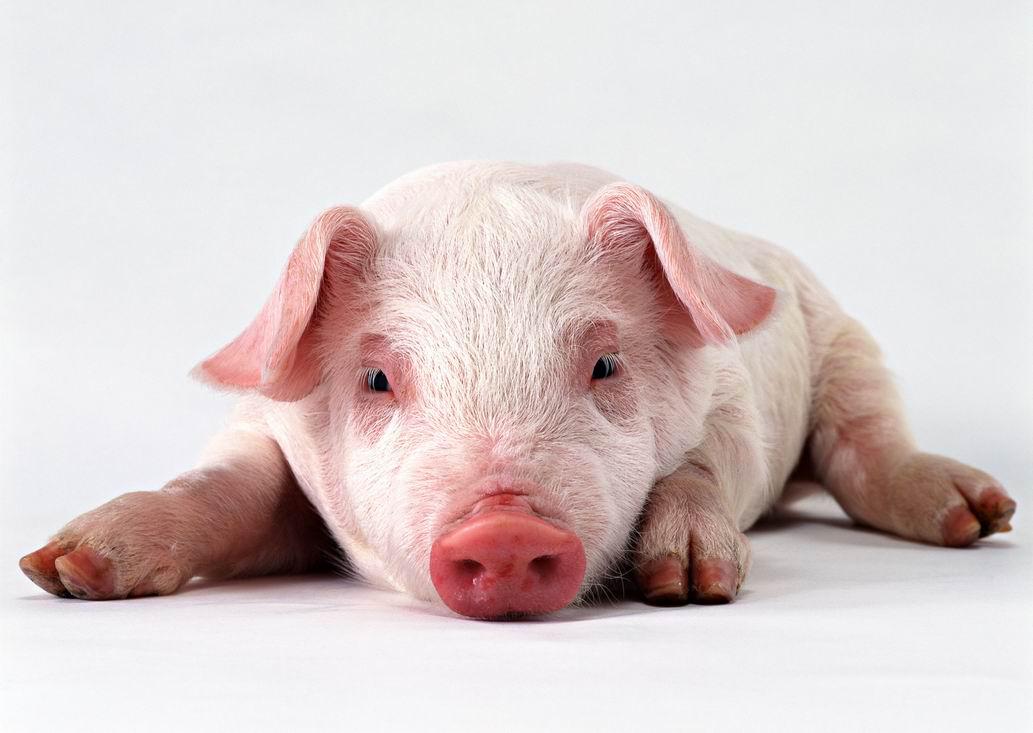 酵母水解物替代血浆蛋白粉对断奶仔猪生产性能的影响