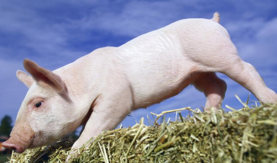 预防断奶仔猪常见问题及防治措施