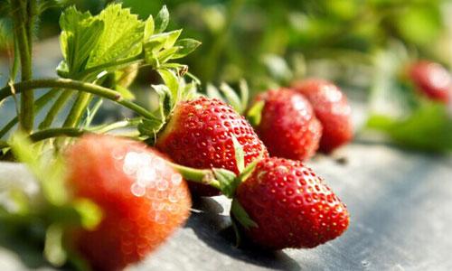 """""""福邦""""生物有机肥(水溶型)在草莓上的应用"""
