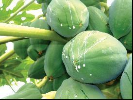 安琪木瓜蛋白酶及其应用