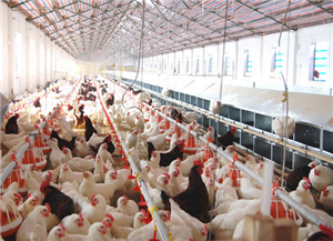 利用营养手段缓解家禽热应激