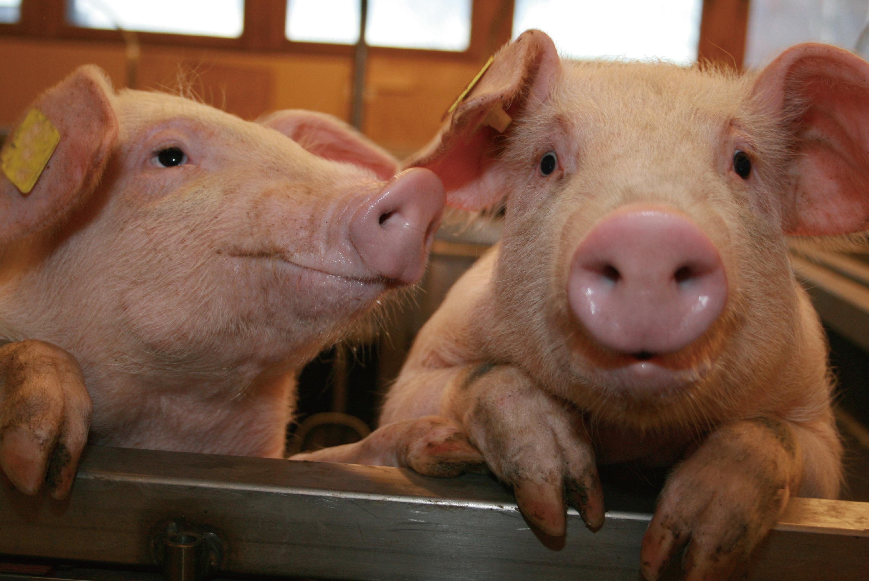 【实证案例】可利舒康提升育肥猪生产性能及健康状况