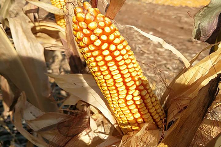 """""""福邦""""酵母源有机肥在辽宁玉米上的应用"""