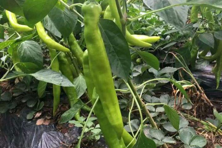 """""""福邦""""10%生物有机肥(水溶型)在保定青椒上的应用"""