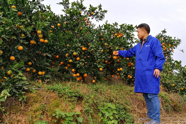 """""""福邦""""20%生物有机肥(颗粒型)在黔阳冰糖橙上的应用"""