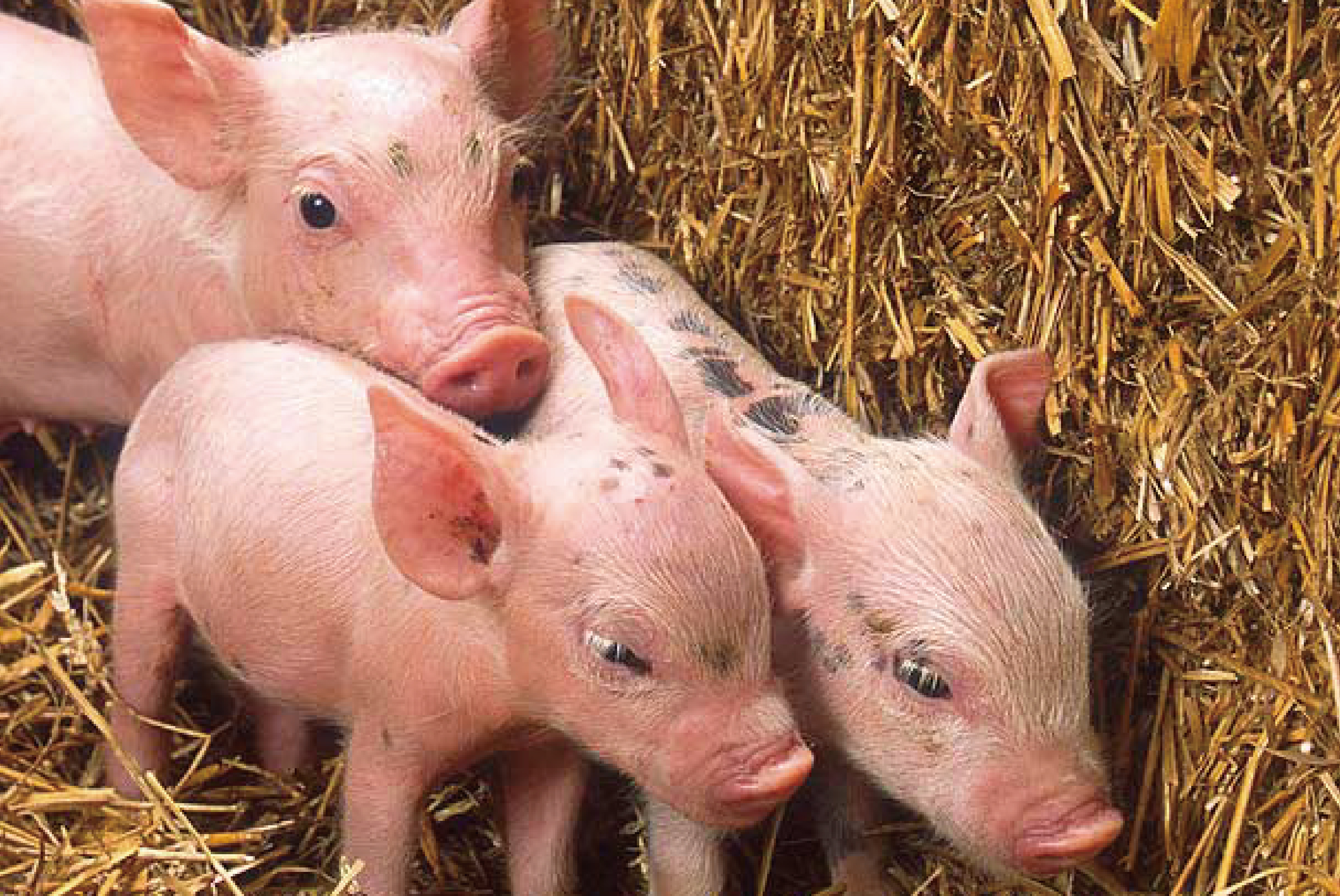 【实证案例】奶水好、少掉膘——酵母水解物在母猪上的应用方案