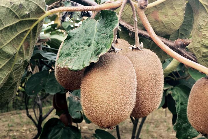 """""""福邦""""生物有机水溶肥在猕猴桃上的应用"""