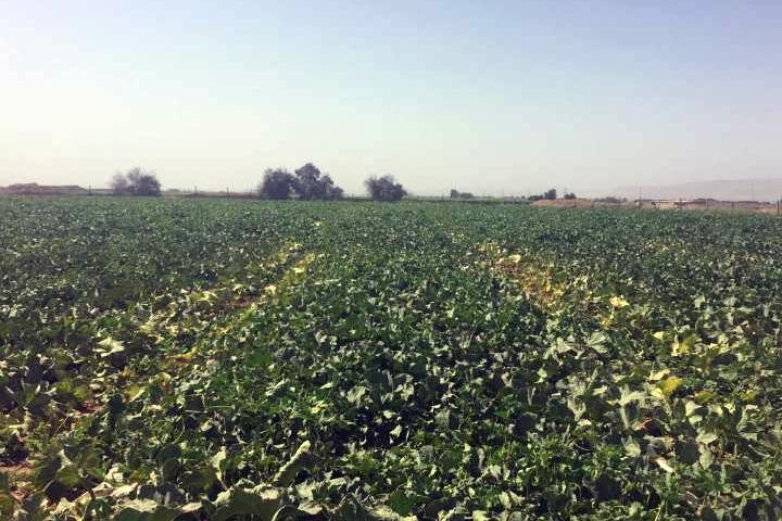 """""""福邦""""酵母源有机肥、生物有机水溶肥在新疆甜瓜上的应用"""