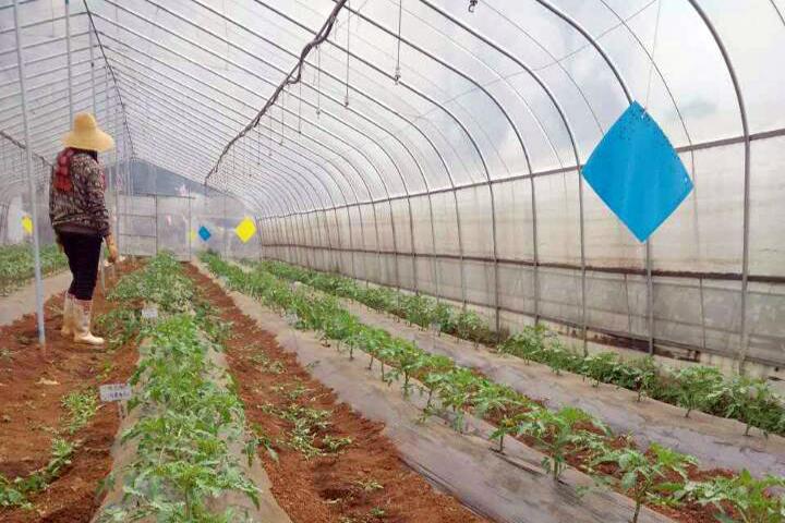 """""""福邦""""酵母源有机肥在云南西红柿上的应用"""