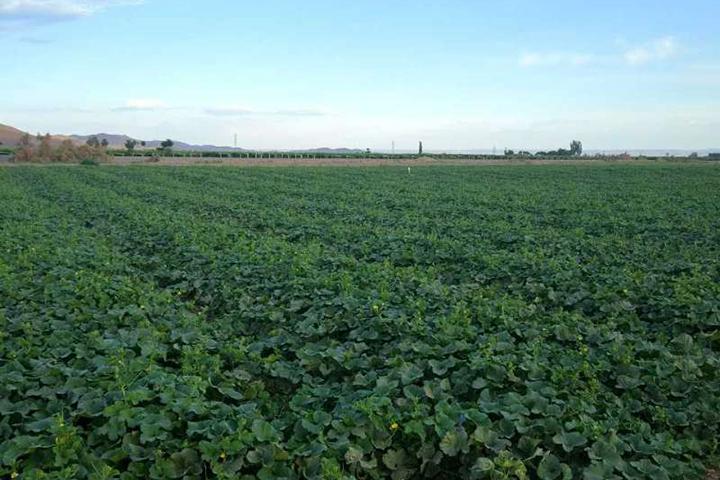 """""""福邦""""酵母源生物有机肥在新疆甜瓜(西洲蜜17号)上的应用"""