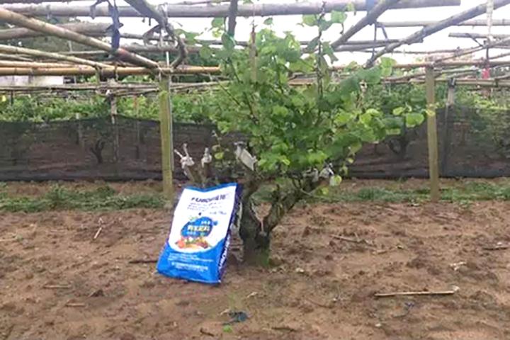 """""""福邦""""酵母源有机肥在福建青枣上的应用"""