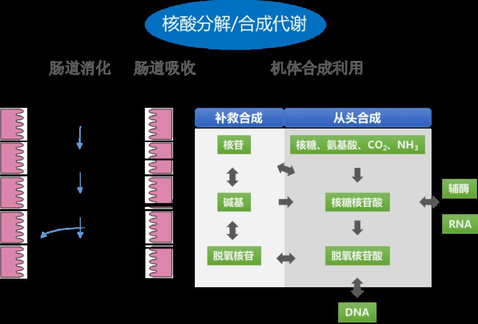 核酸代谢合成