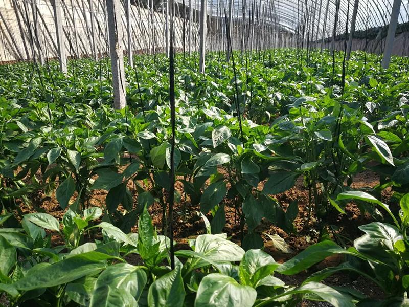 使用安琪福邦酵母源肥料的蔬菜