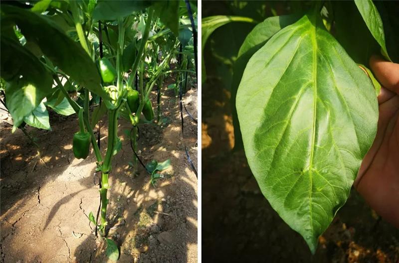 安琪福邦酵母源肥料根茎粗壮、叶面浓绿有光泽