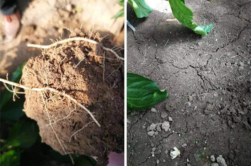 安琪福邦酵母源肥料根系发达,白根密集