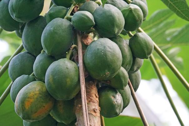 木瓜蛋白酶负责把肉中的蛋白质分解