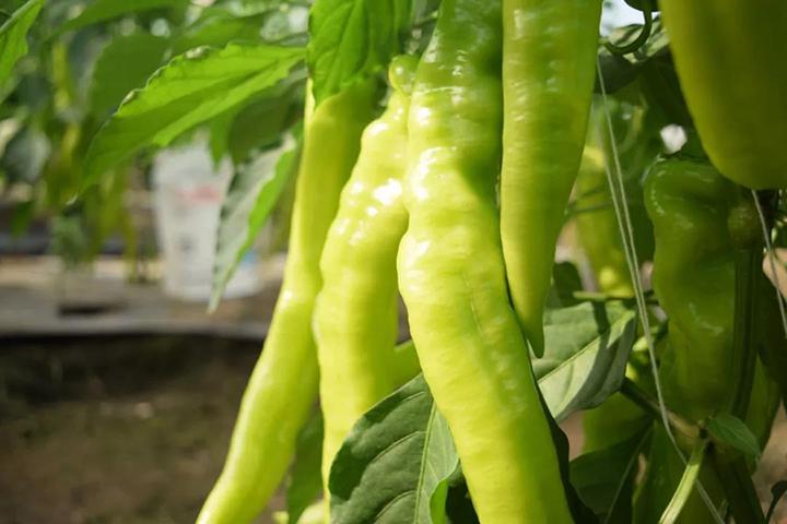 福邦酵母源生物肥料促使辣椒肉厚、修长