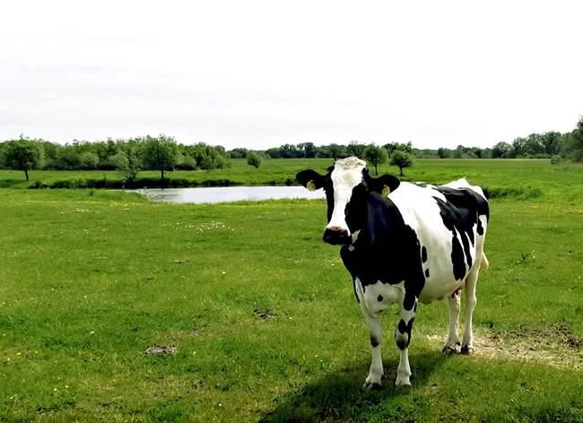 百利可:提升奶牛消化率及产奶性能