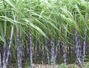 酵母抽提物——一根甘蔗的艺术