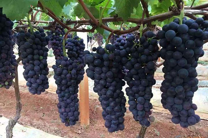 葡萄怎么施肥 葡萄施肥八大误区