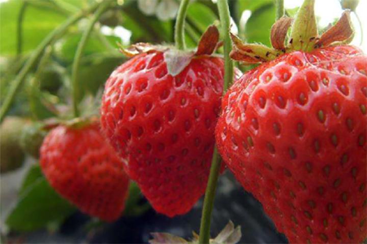 """""""福邦""""10%有机肥料(水溶型)在北京草莓上的应用"""
