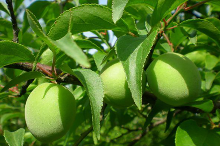 """""""福邦""""5%有机肥料(粉剂型)在诏安青梅上的应用"""