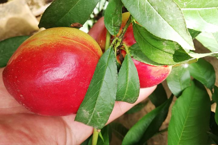 """""""福邦""""含腐殖酸水溶肥在山西运城油桃上的应用"""