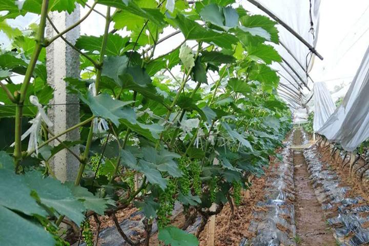 """""""福邦""""10%有机肥料(水溶型)在湖南葡萄上的应用"""