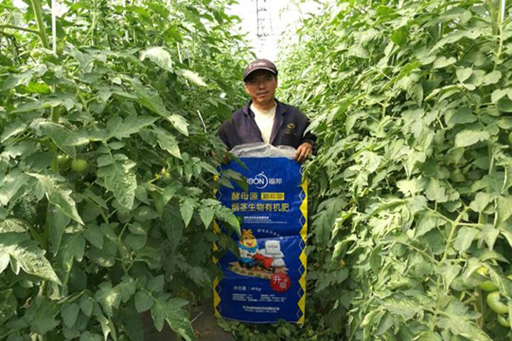 """""""福邦""""7%烟茎生物有机肥料(颗粒型)在云南番茄上的应用"""