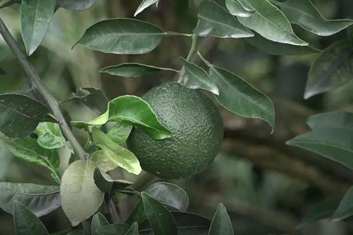 酵醒土壤 · 种出品质:百年老树也能焕发新活力!