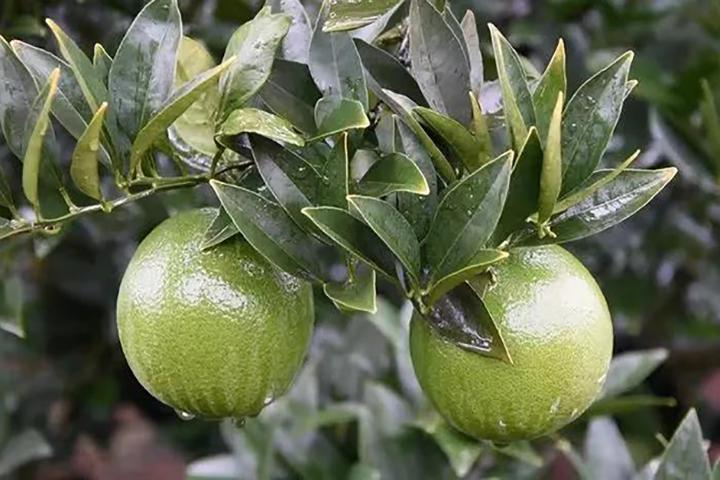 酵醒土壤 · 种出品质:大年品质佳、小年产量稳!柑橘管理需要做好的一点是……