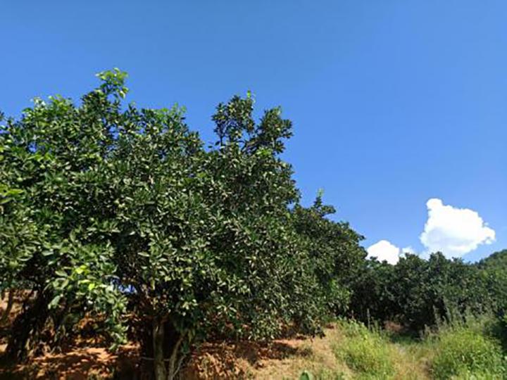 回访果园整体树势观察.png