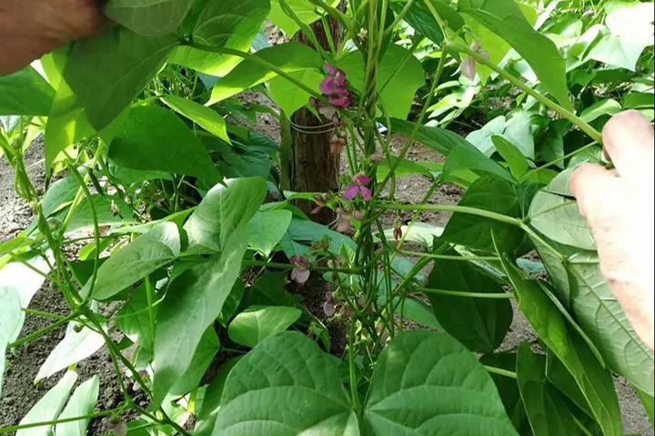 福邦风云榜:土壤好,根系才能好,豆角才能健康成长
