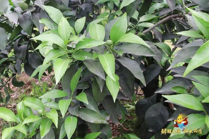 酵醒土壤 · 种出品质:连续暴雨,柑橘遭积水后如何恢复根芽?