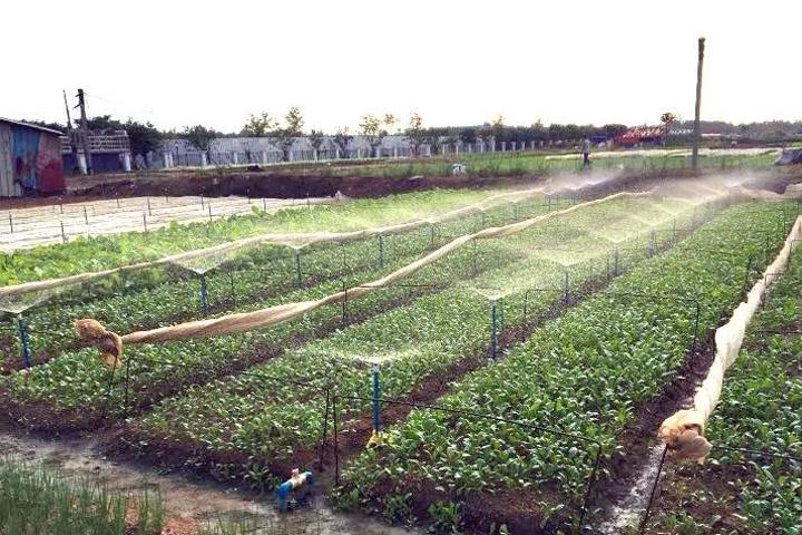 福邦风云榜:拯救海南叶菜死颗烂苗,用福邦改土提质肥效好