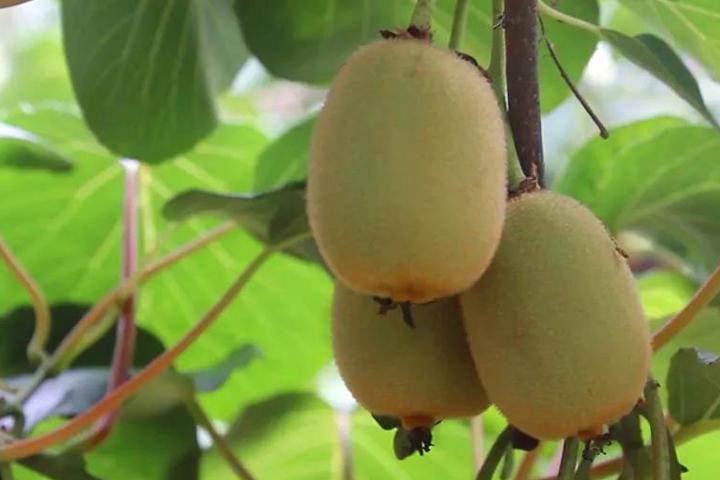酵醒土壤 · 种出品质:猕猴桃园这样管理,4年不到挂果!次年产量翻番