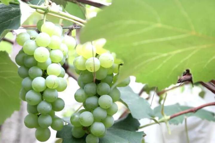 酵醒土壤 · 种出品质:从转色难到果色靓,亩产还超两吨的秘密
