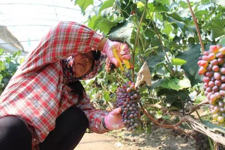 酵醒土壤 · 种出品质:葡萄每棚赚5万、早收近20天,这款肥料这么神?