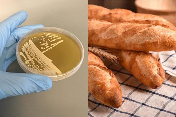 面包酵母的分类