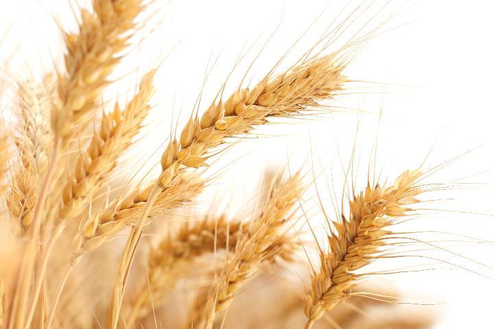酶制剂在小麦水解蛋白制备工艺中的应用