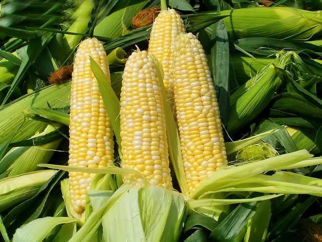 """""""福邦""""有机肥甜玉米上的应用"""